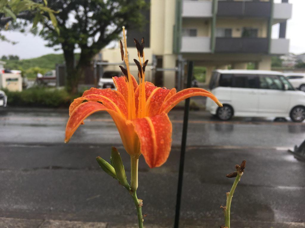 路上に咲くクワンソウ